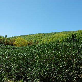 cp2前的王位山茶园顶